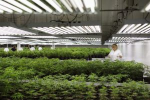 Customer Care Assistant and Production Assistant Marsha McKenna grooms marijuana plant clones at Tweed Marijuana Inc in Smith's Falls, Ontario, Feb. 20, 2014. (Photo Credit: Reuters/Blair Gable)